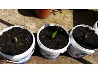 Aloe Vera and tomatoes plants for sale
