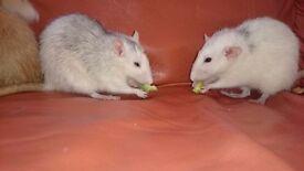 4 Rats, female, 15 months