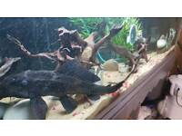 Plecos for sale