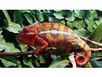 Ambilobe Panther Chameleons £120