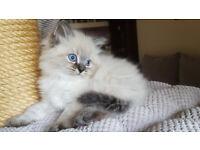 Neva Masquerade pedigree kittens