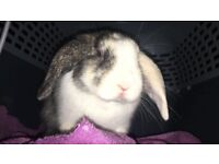 Beautiful baby bunny for sale