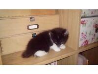Black and White female kitten 4 months