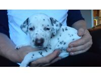 Dalmatian puppies for sale (4 remaining)