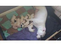 Johnson american bulldog puppies for sale