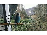 LOVELY MALE BUDGIES FOR SALE ALSO CAGE AVAILABLE