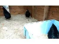 Chickens - Black Rock