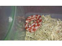 Baby Amel Corn snake