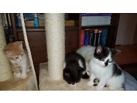 Beautiful Energectic GORGEOUS FLUFFY KITTENS FOR SALE (Part Persian Ragdoll Mixed Breed Long haired)