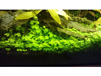 Hydrocotyle Japan Live Aquarium Plants
