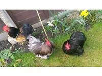 Chickens with coop male