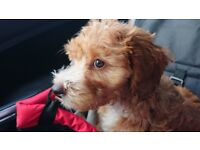 Stunning 9 week old female ruby red and white cavapoo