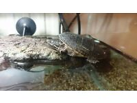 Two Terrapin's Rafaello and Donatello ;) for sale with aquarium and all the equipment as pictured
