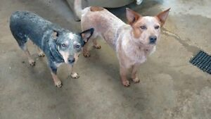 Blue/RED heeler puppies for sale