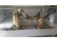 2 super tame male ferrets