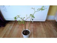Serrano Pepper Plant