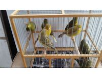 Canaries males for sale