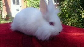 Rabbit - Baby - 9 weeks old - Lion Head bunny - Red Eye Baby rabbit - with Tray ( cage not included)
