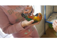 baby JENDAY PARROT