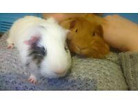 2 male guinea pig, handmade cage