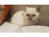 2 BEAUTIFUL BRITISH SHORTHAIR COLOURPOINT LILAC GIRL,REDY TO GO.