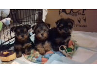 Gorgeous Pure Yorkshire Terrier Puppies with pedigree certificate- yorkies