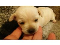 chihuahua puppy girl for sale