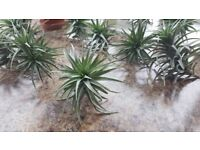 Air Plant (Tillandsia) - 'Easy Care' Ideal and unusual house plants!