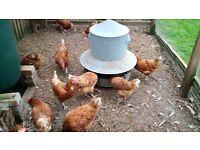 Free Range Laying Hens Chickens Warrens Lohmann Brown