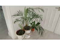 3 Large Houseplants - free to good home