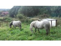 2secton a ponies with stables and land