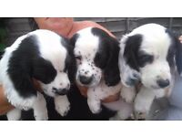 Sprocker pups two boys one girl black & white ready to go mum can be seen £350 banwell , somerset