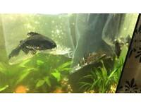 Pleco and cat fish 5-6 inchs approx