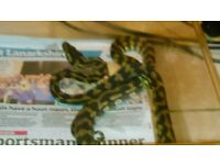 male carpet python (bargain £30 the lot)