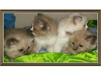 solid ragdoll kittens