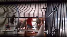 Hi, I have these beautiful young Zebra Finches for sale, ideal pets, Good health.