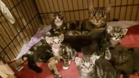 Litter of 8 fluffy tabby kittens