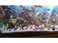 Various types of Malawi Cichlids £1.50 to £12
