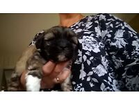 Maltese x Lhasa Apso male puppy for sale. last one left and available 19th November