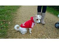 18 month old Female Jack Russel cross Bichon Frise Puppy for sale.