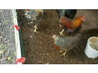 PURE BREED CHICKENS FOR SALE. Cream legbars, wellsummers, Barnvelders