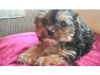 Chorkies 1 boy and 1 girl delightful puppies,they have been wormed and are litter trained