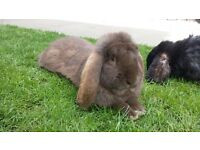 Male French lop