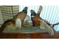 Taxidermy, Pheasants.