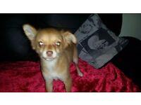 Chihuahua female puppy brown semi long coat