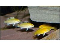 Malawi Yellow lab cichlid fry
