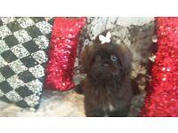 Gorgeous Shih Tzu Karashishi Puppies
