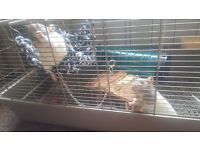 3 female hooded rats for sale