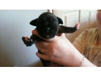 English Staffordshire Terriers puppies for sale