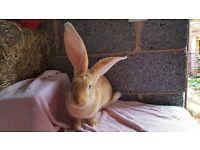 Big beautiful friendly continental giant baby rabbits